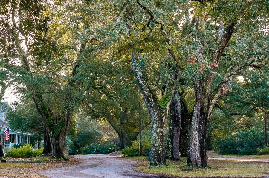 Oak Lined Street