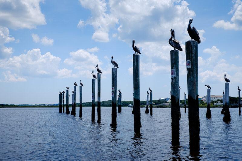 Pelicans on top of old marina dock poles.